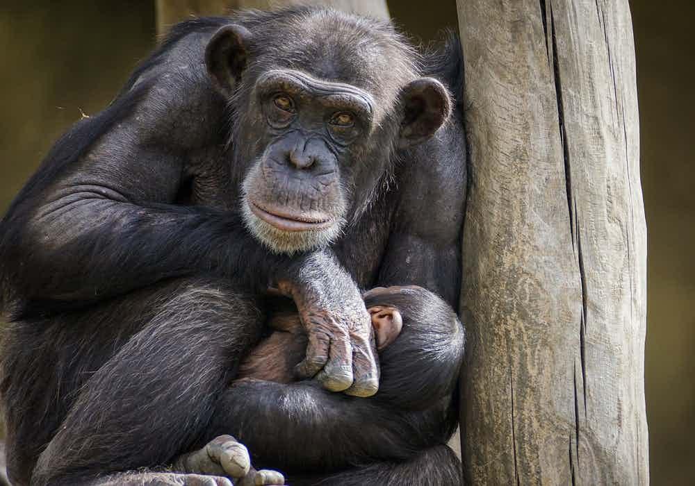 Taronga Zoo Sydney-Chimpanzee Keeper Talk