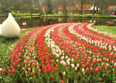 Tulip Gardens in Amsterdam